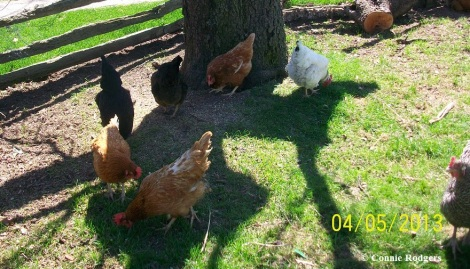 Dana and Tillie with the other hens. Dana and Tillie are the two 'red-coloured hens' near the forefront.
