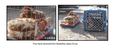 Four Hens from Kawartha