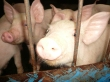 Gifu_livestock_research_center_pigs_2007
