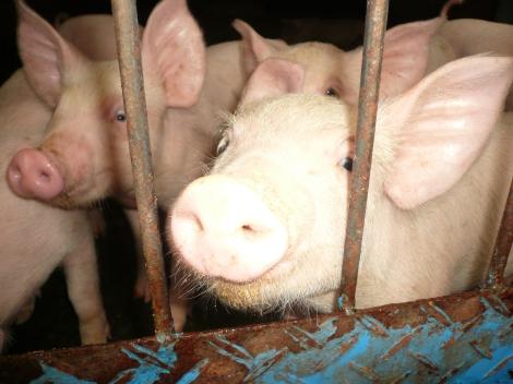 Gifu_livestock_research_center_pigs_2007