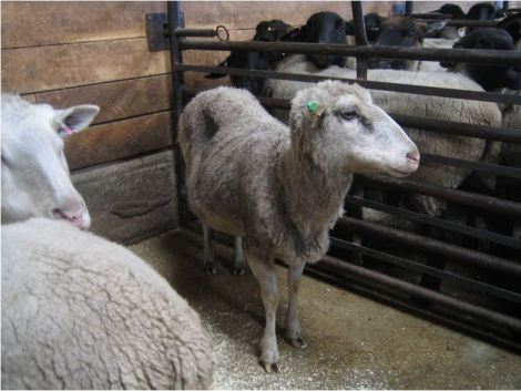 Emaciated ewe at auction