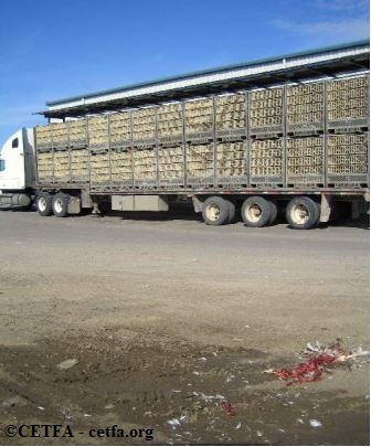 Broiler chickens awaiting in transport crates on the parking lot of a slaughterhouse.
