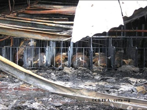 Burned sows in gestation crates