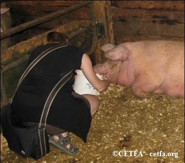 Bringing water to dehydrated and sick sow at Ontario auction.