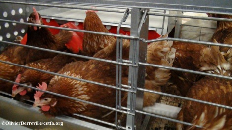 """The space available for nesting in """"enriched"""" cages is so limited that it forces the hens to compete for access to these resources."""