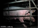 Sow in a gestation crate.