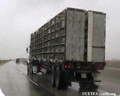 Untarped poultry trailer in cold and humid conditions, Manitoba.