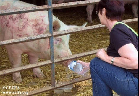 CETFA inspector giving water to a thirsty  sow at a livestock auction.