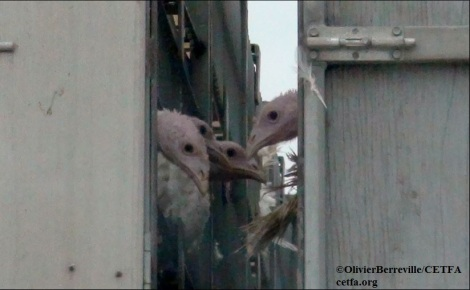 Overloaded, untarped turkeys en route to slaughter.
