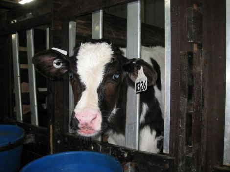 Crated calf. Photo credit: Mercy For Animals Canada.