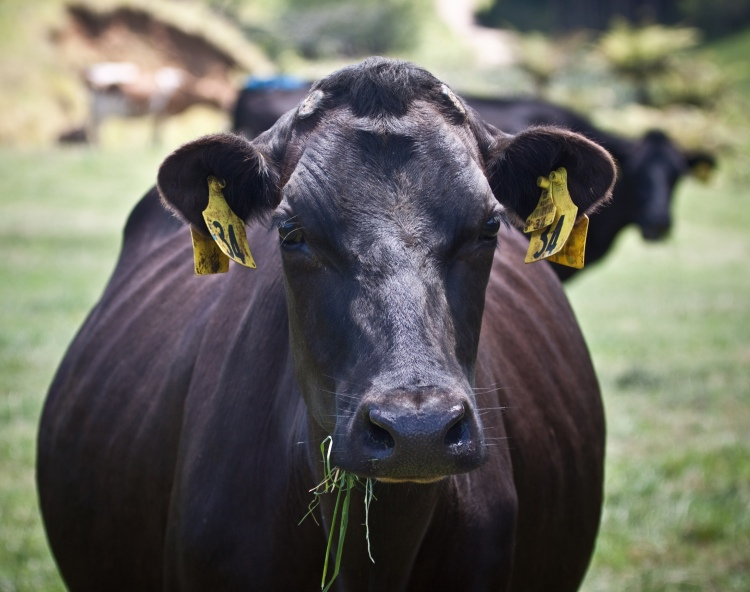 Dehorned_dairy_cow