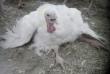 Crippled Turkey Hen