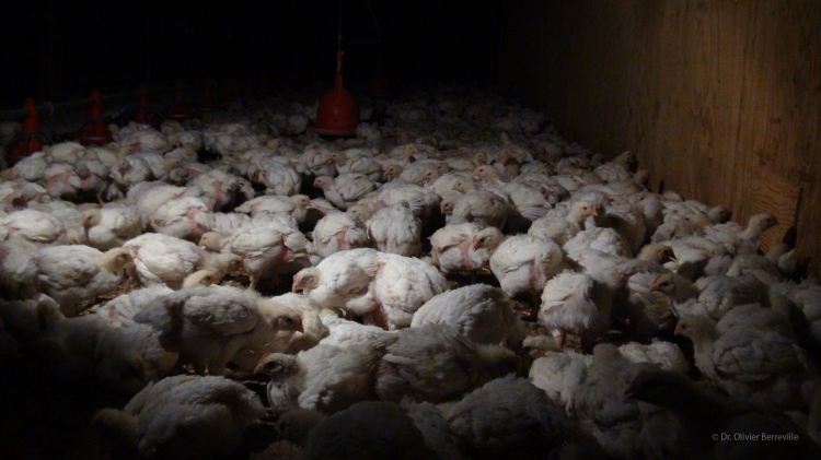Broiler chicks in Canadian factory farm