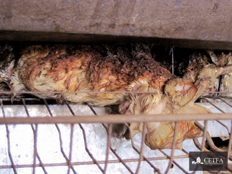 Hen who burned alive trapped in battery cage